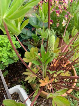 ルピナス初挑戦 種蒔きからまるッと1年4か月