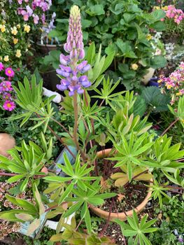 ルピナス初挑戦 種蒔きからまるッと1年5か月