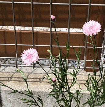 ヤグルマギク/エディブルフラワー ピンクが可愛い