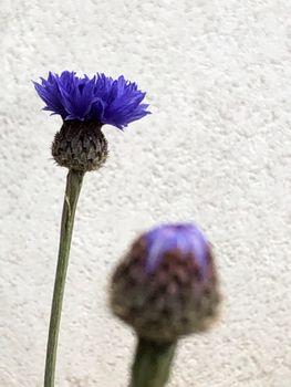 ヤグルマギク/エディブルフラワー 2020.03.27開花し始めたー!