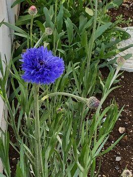 ヤグルマギク/エディブルフラワー まだまだ咲く