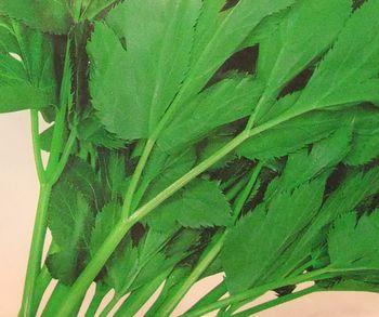 アシタバ 栽培
