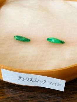 ヒマワリ・サンタスティック🌻 〜チャレンジ2020〜🎵 種蒔き‼︎