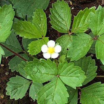 ワイルドストロベリーをグランドカバーにしてティーとジャムを作る 地植えに1番花!