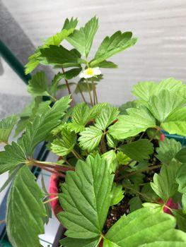 ワイルドストロベリーをグランドカバーにしてティーとジャムを作る 咲いた!