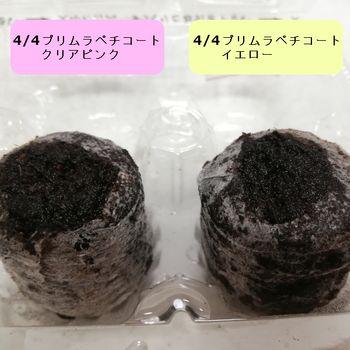 2020年 プリムラ_ペチコート(終了) 種置き(04/20)