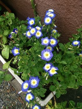 コンボルブルス 青い花