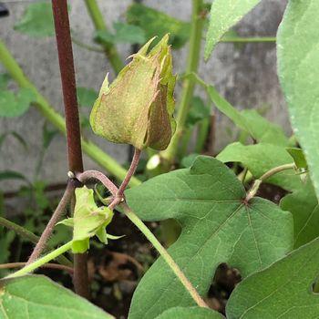 和綿/地植え鉢植え育て比べ/刺繍糸にしたい 蕾