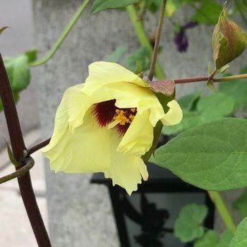 和綿/地植え鉢植え育て比べ/刺繍糸にしたい 花アップ