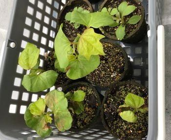 和綿/地植え鉢植え育て比べ/刺繍糸にしたい 本葉が見えてきた