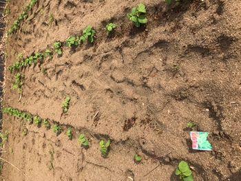 家族が育てる枝豆を勝手に観察してみよう おっいたいた、枝豆さんたち。