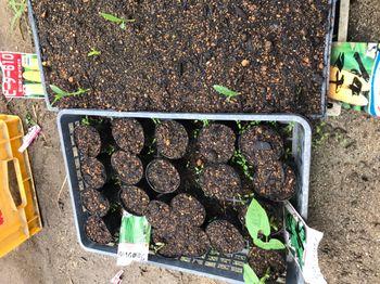 家族が育てる枝豆を勝手に観察してみよう 2020年5/27 種袋が増えてる!?