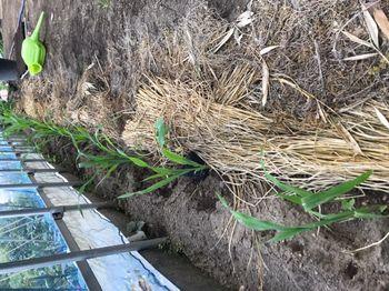 家族が育てる枝豆を勝手に観察してみよう トウモロコシ定植