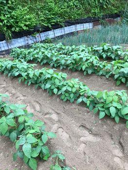 家族が育てる枝豆を勝手に観察してみよう 同日、最初にまいた『早生枝豆』はこちら