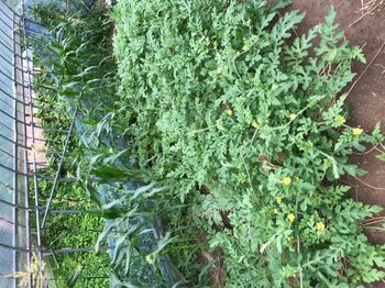 家族が育てる枝豆を勝手に観察してみよう 2020年7/20 スイカのつるが。