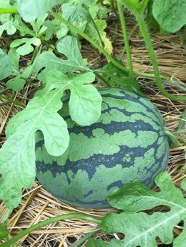 家族が育てる枝豆を勝手に観察してみよう 同日、スイカ発見!🍉