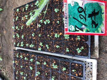 家族が育てる枝豆を勝手に観察してみよう 2020年7/27 ブロッコリーの種まき