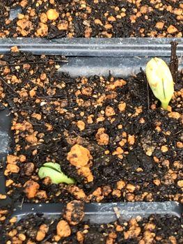 家族が育てる枝豆を勝手に観察してみよう 2020年4/28 発芽