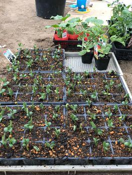 家族が育てる枝豆を勝手に観察してみよう 2020年5/3 芽が出揃う