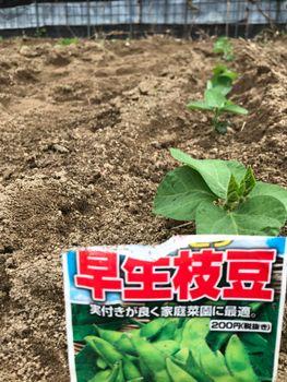 家族が育てる枝豆を勝手に観察してみよう 2020年5/10 畑へ定植