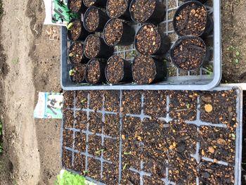 家族が育てる枝豆を勝手に観察してみよう 2020年5/22 インゲンとうきび発芽