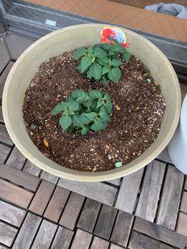 インパチェンス(八重咲き) 4月29日 植えました
