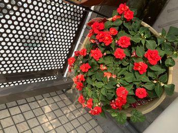 インパチェンス(八重咲き) 5月30日