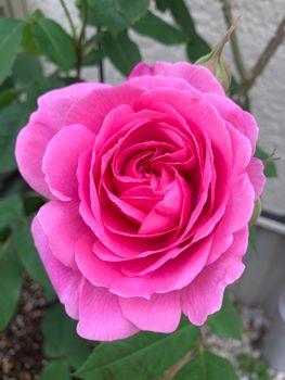 香りは最高だけど花もちは‥ 今年一番手