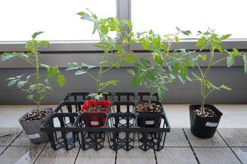 4色のミニトマトで畑デビュー 4種の苗が届く