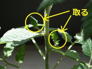 4色のミニトマトで畑デビュー 芽かき(腋芽摘み)をする
