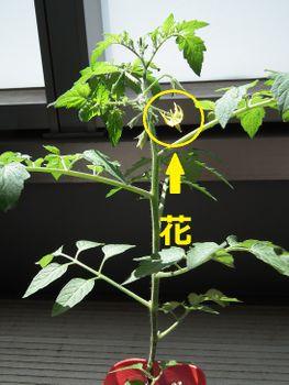 4色のミニトマトで畑デビュー <翌日観察①>アイコ(赤)に花