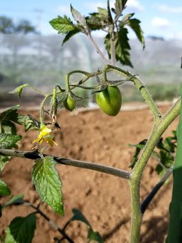 4色のミニトマトで畑デビュー 実がなりました。