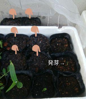 ✔ ダイソー ごく甘バイカラーコーンを種から育てる 2020/5/30 発芽と追加蒔き