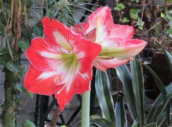 我が家のアマリリスの花 2020/05/23大きく開いた花