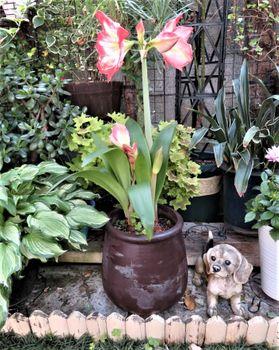 我が家のアマリリスの花 2020/05/24アマリリスの全体像