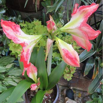 我が家のアマリリスの花 2020/05/24上からの眺め