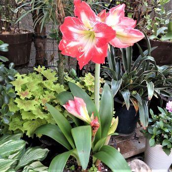 我が家のアマリリスの花 2020/05/24斜めからの眺め