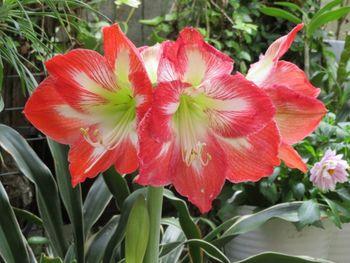 我が家のアマリリスの花 2020/05/274つの花