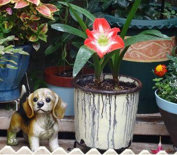 我が家のアマリリスの花 2017/06/22最初のアマリリスの花