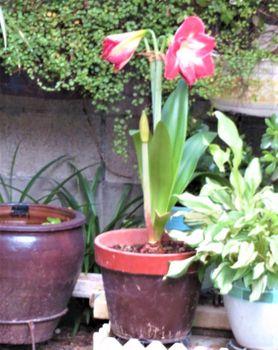 我が家のアマリリスの花 2019/05/31昨年咲いた花