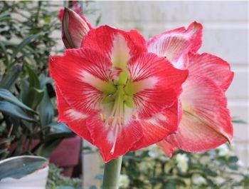 我が家のアマリリスの花 2020/05/23左側の花を眺め