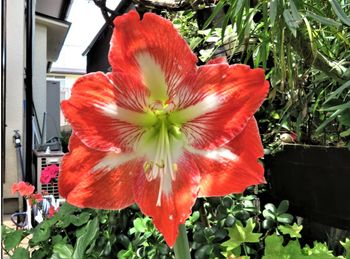 我が家のアマリリスの花 2020/05/23右側の花を眺め