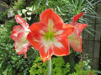 我が家のアマリリスの花