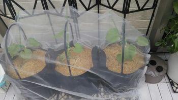 種からころたんメロン二世 2020 なんとなく防虫ネット