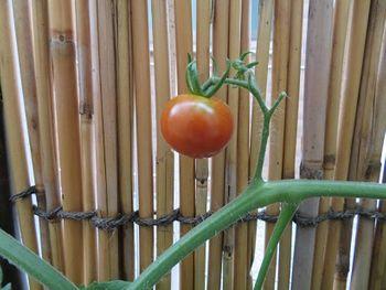 壁際農園2020年夏(ミニトマト編) 1つめ収穫