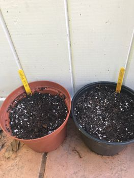 2021年の開花を目指してルピナスを種から育てます 6/7 2020に10個の種を蒔きました