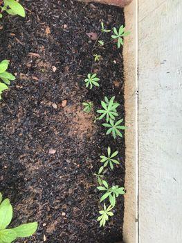 2021年の開花を目指してルピナスを種から育てます 7/27/2020