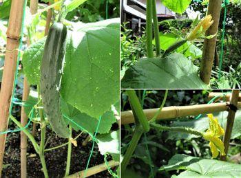 キュウリ栽培から収穫までの一連の流れ 6月28日キュウリが実を付けた