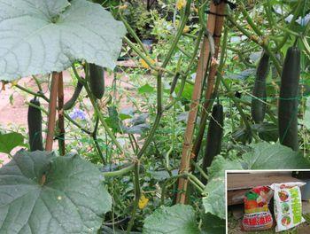 キュウリ栽培から収穫までの一連の流れ 7月21日良くできるキュウリの姿