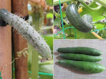 キュウリ栽培から収穫までの一連の流れ 7月28日キュウリだけが、大繁盛